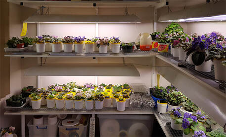 Growing With Artificial Light African Violet Society Of